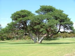 protected trees in south africa sa forestry online sa forestry