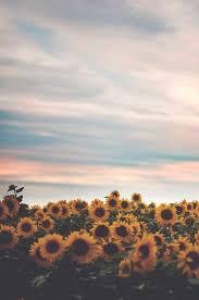 single sun flower wallpapers 25 trending sunflowers ideas on pinterest sun flowers
