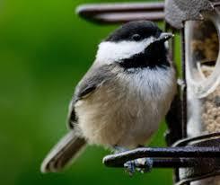 100 backyard birdshop sibley u0027s backyard birds of