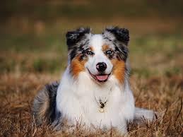 australian shepherd uses 20 trendiest dog breeds to own
