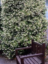 star jasmine monrovia star jasmine