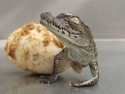 cute baby crocodile wallpaper