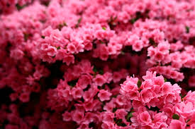 pink flower wonderful pink flower bush flowers free nature pictures