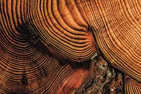tree rings images Music of the tree rings sound of a wild forest jpg