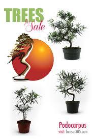 bonsai tree bonsai bonsai pots bonsai trees for sale products