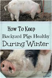 Backyard Pig How To Keep Backyard Pigs Healthy During Winter Farm Fit Living