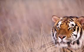 royal bengal tiger wallpapers hd wallpapers 48650