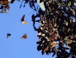 park it monarch butterflies back at fremont s ardenwood