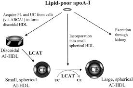 formation and metabolism of prebeta migrating lipid poor