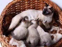 siamese kitten color lovetoknow