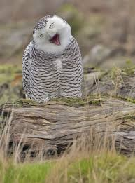 White Owl Meme - the 100 greatest owl pictures you ll ever see