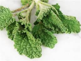 horehound candy where to buy white horehound herb baker creek heirloom seeds