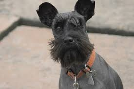 schnauzer hair cut step by step these schnauzer haircuts will have your pooch looking great this