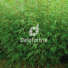 sorte de bambou plantation de bambous delefortrie paysages