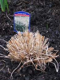 caring for ornamental grasses nursery