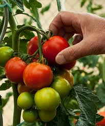picking tomatoes u2013 when are tomatoes ready to harvest