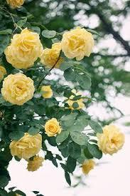 imagenes flores relajantes pin de k t rose en yellow rose cottage pinterest