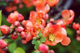 Pink Spring Flowering Shrubs - shrubs to prune in late spring the english garden