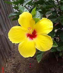 Yellow Hibiscus Flowers - june 2014 the daily hibiscus