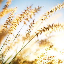 8 great fall grasses sunset