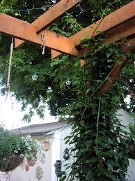 kiwi vine on grape arbor arctic kiwi growing kiwi how to grow kiwi
