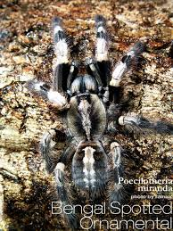 bengal spotted ornamental poecilotheria miranda tarantula