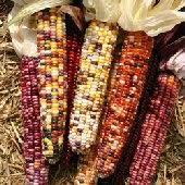 autumn explosion corn autumn explosion corn seed autumn