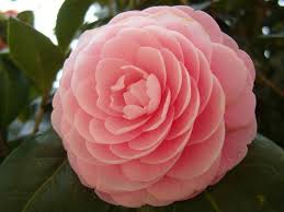 japanese native plants camellia japonica japanese camellia world of flowering plants