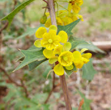 native plants in texas spiny agarita used for medicine jelly san antonio express news