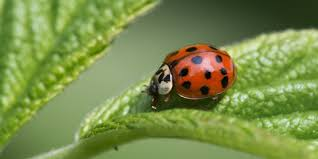 how to get rid of ladybugs how to control asian lady beetles