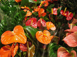 anthurium beautiful interior flowers pinterest flowers