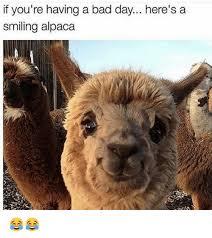 Alpaca Meme - 25 best memes about alpaca alpaca memes