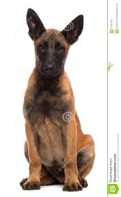 belgian sheepdog dog belgian shepherd dog 4 months old sitting stock image image