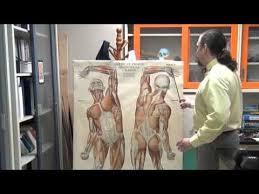Anatomy Channel Best 25 Upper Limb Anatomy Ideas On Pinterest Muscles Of Upper