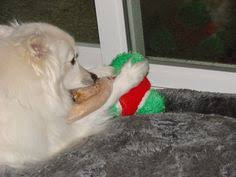 american eskimo dog calgary pin by jan smith on dogs especially american eskimo dogs