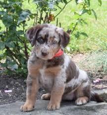 australian shepherd mix puppies for sale puppies for sale buckeye puppies