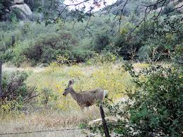 Arizona wildlife tours images Wild animals of yarnell arizona scrub oak pinyon pine forest jpg