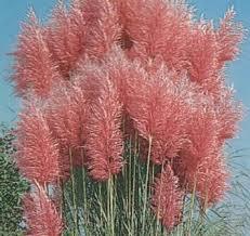 cheap pink ornamental grass find pink ornamental grass deals on