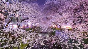 cherry blossom pics places in tokyo to see cherry blossoms this spring
