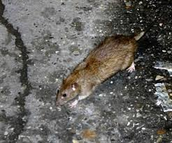 how much does it cost to get rid of rats rat extermination prices