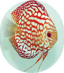 best 25 discus fish for sale ideas on discus fish