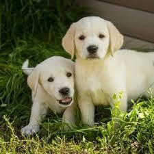 afghan hound and labrador retriever labrador retriever breed information characteristics u0026 heath
