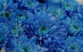 teal flowers true blue chrysanthemum flowers produced with genetic engineering