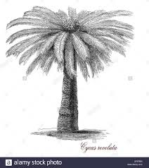 plant native sago palm or cycas revoluta is an ornamental plant native from