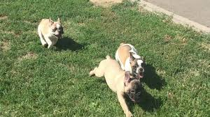 belgian shepherd for sale south africa shirley french bulldog puppy for sale euro puppy