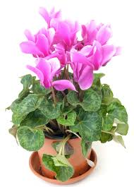 keeping cyclamens after blooms fade u2013 learn what to do with a
