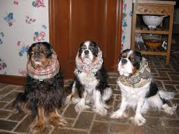 bluetick vs english coonhound diets for cavalier king charles spaniels