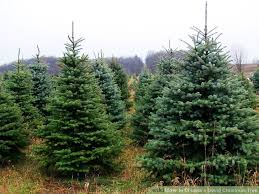how to choose a living christmas tree 5 steps with pictures