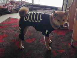 rigby the shiba inu halloween skeleton costume hello rigby