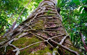 climbing the huge strangler figs of southern queensland australia
